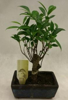 Japon ağacı bonsai bitkisi satışı  Aksaray çiçekçi telefonları