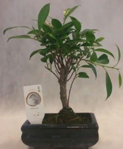 Bonsai japon ağacı bitkisi satışı  Aksaray çiçek gönderme sitemiz güvenlidir