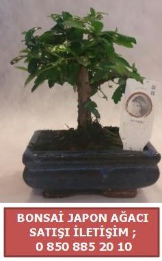 Japon ağacı minyaür bonsai satışı  Aksaray çiçek satışı