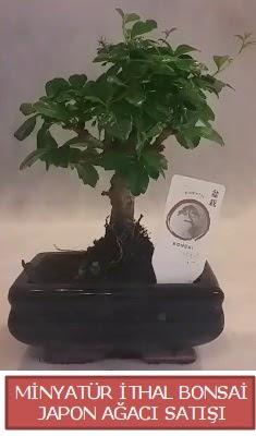 Küçük görsel bonsai japon ağacı bitkisi  Aksaray çiçek , çiçekçi , çiçekçilik