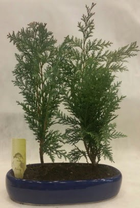 SINIRLI SAYIDA Selvi Ağacı bonsai ikili  Aksaray çiçekçi telefonları