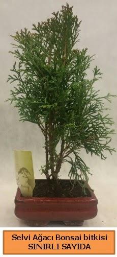 Selvi ağacı bonsai japon ağacı bitkisi  Aksaray çiçek satışı