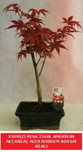 İTHAL ACER RUBRUM BONSAİ AĞACI  Aksaray çiçek gönderme sitemiz güvenlidir