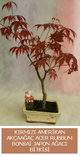 Amerikan akçaağaç Acer Rubrum bonsai  Aksaray uluslararası çiçek gönderme
