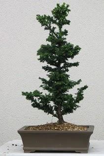 Çam ağacı bonsai bitkisi satışı  Aksaray çiçekçi telefonları