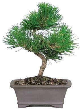 Çam ağacı bonsai japon ağacı bitkisi  Aksaray çiçek gönderme