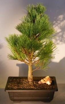 Çam ağacı japon ağacı bitkisi bonsai  Aksaray çiçekçi telefonları
