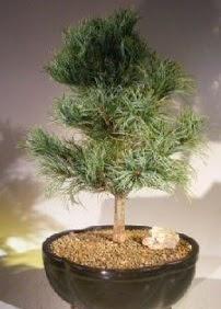 Çam ağacı bonsai bitkisi satışı  Aksaray ucuz çiçek gönder
