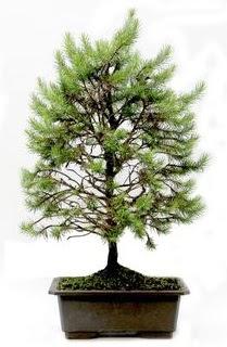 *** STOKTA YOK - Çam ağacı bonsai bitkisi satışı  Aksaray cicekciler , cicek siparisi