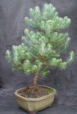 Bonsai çam ağacı japon ağacı bitkisi  Aksaray çiçek gönderme sitemiz güvenlidir