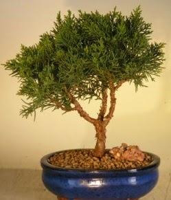 Servi çam bonsai japon ağacı bitkisi  Aksaray çiçek yolla