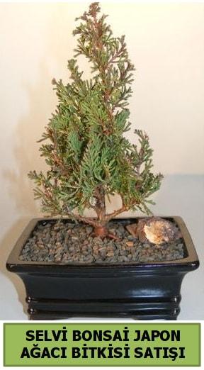 Selvi çam japon ağacı bitkisi bonsai  Aksaray çiçekçi telefonları