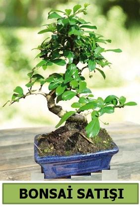 Çam bonsai japon ağacı satışı  Aksaray çiçek satışı