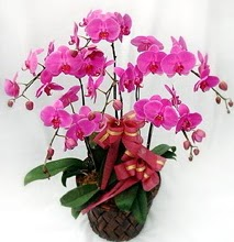 Sepet içerisinde 5 dallı lila orkide  Aksaray ucuz çiçek gönder