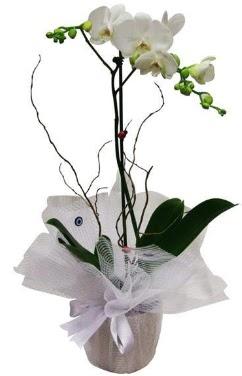 Tek dallı beyaz orkide  Aksaray cicek , cicekci