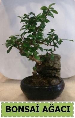 Bonsai ağacı japon ağacı satışı  Aksaray hediye çiçek yolla