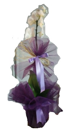 Tek dallı beyaz orkide süper kalite ithal  Aksaray çiçek siparişi sitesi