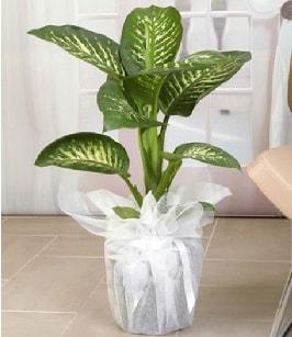 Tropik saksı çiçeği bitkisi  Aksaray çiçek satışı