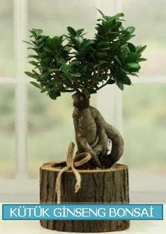 Kütük ağaç içerisinde ginseng bonsai  Aksaray çiçek gönderme sitemiz güvenlidir