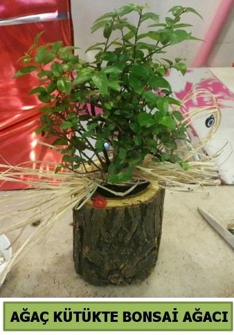 Doğal ağaç kütük içerisinde bonsai ağacı  Aksaray çiçek gönderme sitemiz güvenlidir