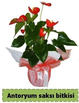 Antoryum saksı bitkisi satışı  Aksaray çiçek , çiçekçi , çiçekçilik