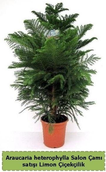 Salon Çamı Satışı Araucaria heterophylla  Aksaray çiçek satışı