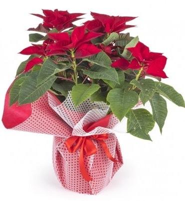 Atatürk çiçeği saksı bitkisi  Aksaray çiçek gönderme sitemiz güvenlidir