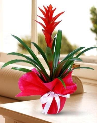 Guzmanya Saksı Çiçeği  Aksaray çiçek yolla