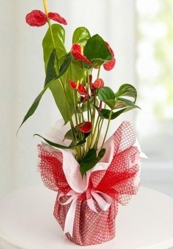 Anthurium Saksı Çiçeği  Aksaray hediye çiçek yolla