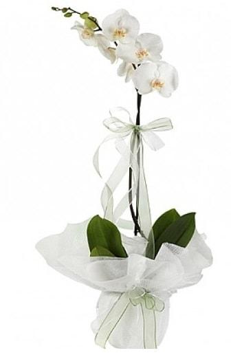Tekli Beyaz Orkide  Aksaray hediye çiçek yolla