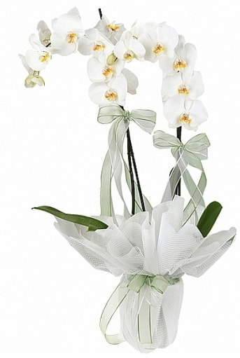 Çift Dallı Beyaz Orkide  Aksaray anneler günü çiçek yolla