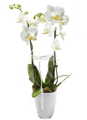 2 dallı beyaz seramik beyaz orkide saksısı  Aksaray çiçek gönderme sitemiz güvenlidir
