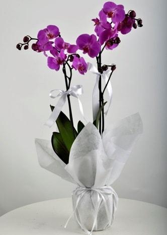Çift dallı saksıda mor orkide çiçeği  Aksaray çiçek siparişi vermek