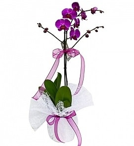 Tek dallı saksıda ithal mor orkide çiçeği  Aksaray çiçekçiler