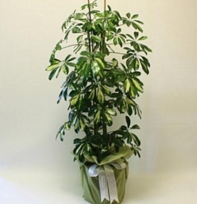 Şeflera salon bitkisi  Aksaray çiçek gönderme