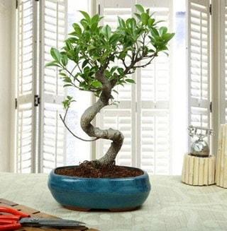 Amazing Bonsai Ficus S İthal  Aksaray internetten çiçek siparişi