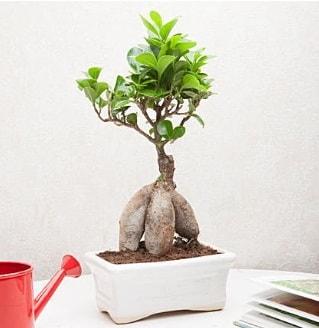 Exotic Ficus Bonsai ginseng  Aksaray çiçek servisi , çiçekçi adresleri