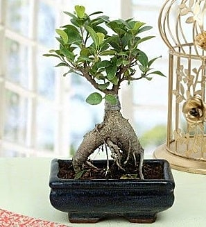 Appealing Ficus Ginseng Bonsai  Aksaray anneler günü çiçek yolla