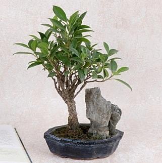 Japon ağacı Evergreen Ficus Bonsai  Aksaray çiçek gönderme sitemiz güvenlidir