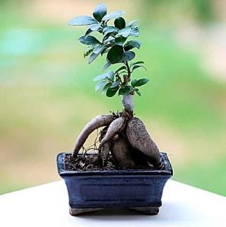Marvellous Ficus Microcarpa ginseng bonsai  Aksaray çiçek siparişi vermek