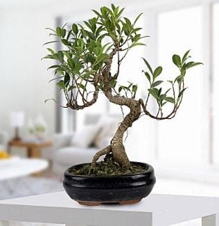 Gorgeous Ficus S shaped japon bonsai  Aksaray yurtiçi ve yurtdışı çiçek siparişi