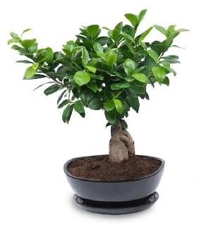 Ginseng bonsai ağacı özel ithal ürün  Aksaray internetten çiçek satışı