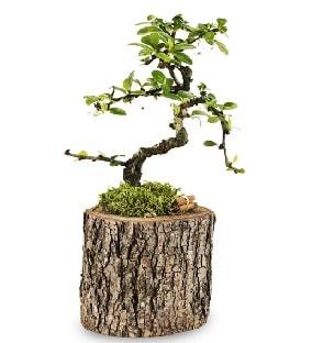 Doğal kütükte S bonsai ağacı  Aksaray çiçek satışı