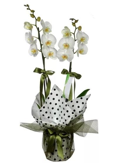 Çift Dallı Beyaz Orkide  Aksaray 14 şubat sevgililer günü çiçek