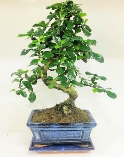S Bonsai japon ağacı bitkisi  Aksaray uluslararası çiçek gönderme