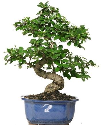 21 ile 25 cm arası özel S bonsai japon ağacı  Aksaray çiçekçi telefonları