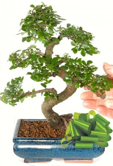 Yaklaşık 25 cm boyutlarında S bonsai  Aksaray çiçek siparişi sitesi