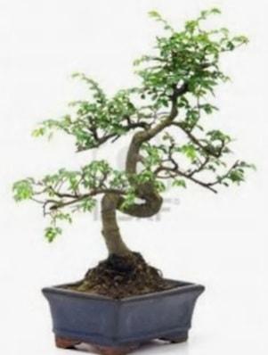 S gövde bonsai minyatür ağaç japon ağacı  Aksaray çiçek satışı