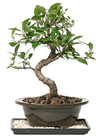 Altın kalite Ficus S bonsai  Aksaray çiçekçi telefonları  Süper Kalite