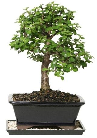 15 cm civarı Zerkova bonsai bitkisi  Aksaray çiçek siparişi sitesi